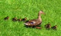 ducklings-walk-birds-4591844-h