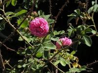 rose-flower-18212907-l